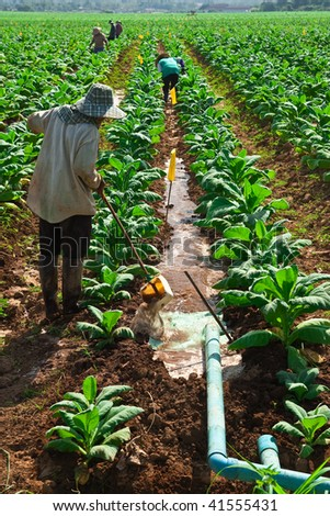 Irrigation in tobacco field, north of Thailand - stock photo