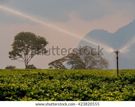 irrigation of a plantation of tea  - stock photo
