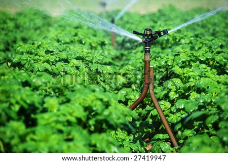 irrigation sprinklers working in a potato field