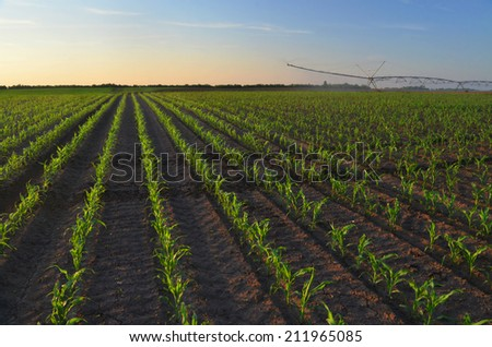 Irrigation system watering corn field on sunny summer day. - stock photo