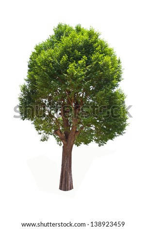Irvingia malayana tree, Lagerstroemia macrocarpa Wall or Kayu also known as Wild Almond, tropical tree in the northeast of Thailand isolated on white background