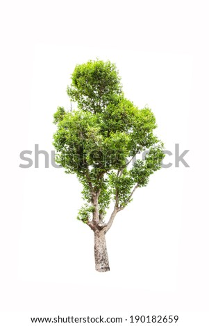 Irvingia malayana tree, Lagerstroemia macrocarpa Wall or Kayu also known as Wild Almond, tropical tree in the northeast of Thailand isolated on white background - stock photo