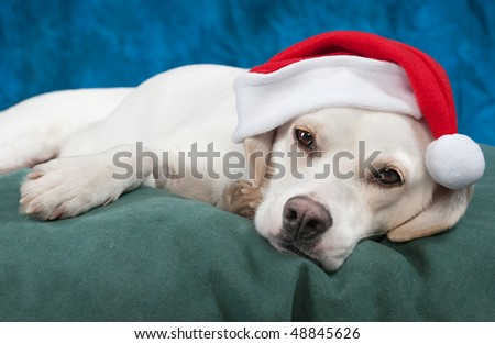 Is It Christmas Yet? - White labrador mix puppy tired from waiting for Christmas wears Santa hat and rests on green bed