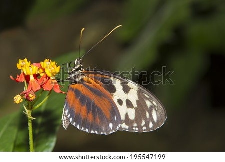 Isabella's Longwing or Isabella's Heliconian (Eueides isabella) - stock photo