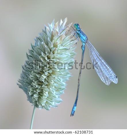 Ischnura elegans ebneri (male) - stock photo