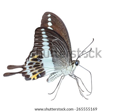 Isoalted Banded swallowtail butterfly (Papilio demolion) with clipping path - stock photo