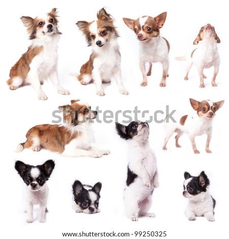Isolate a group of chihuahuas - stock photo
