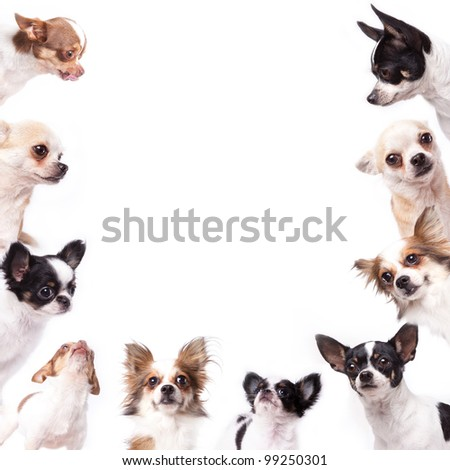 Isolate a group of chihuahuas looking at the center of picture - stock photo