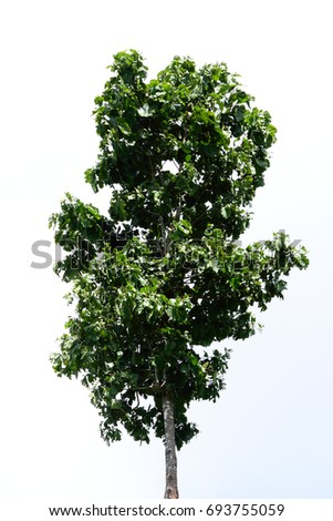 isolate broad leaves tree