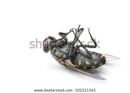 Isolate Death Fly - stock photo