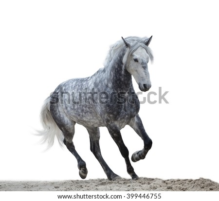 isolate of a gray horse run on  a sand on a white background