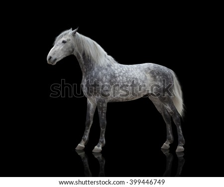 isolate of a gray horse stay on the black background