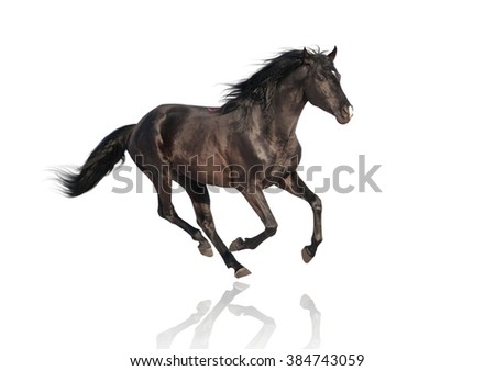 isolate of the black horse galloping on the white background