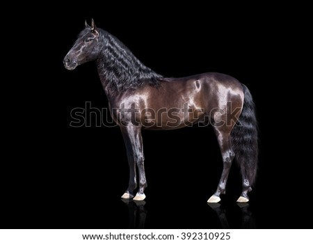 isolate of the exterior brown Andalusian horse on the black background - stock photo