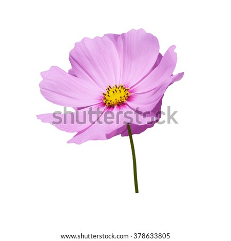 isolate pink cosmos flower
