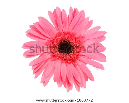 Isolate pink daisy.