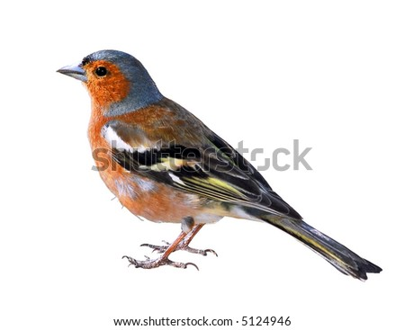 Isolated a Chaffinch - stock photo
