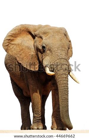 Isolated African Elephant Bull (loxodonta africana) - stock photo