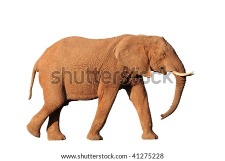 Isolated African elephant male with tusks and trunk hanging down - stock photo