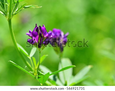 stock-photo-isolated-alfalfa-flower-alfa