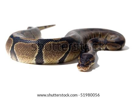 isolated anakonda snake wild animal - stock photo