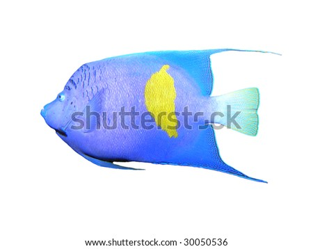 Isolated Angelfish on a white background - stock photo