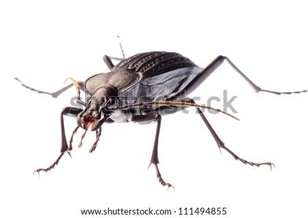 isolated animal insect ground beetle, studio shot - stock photo