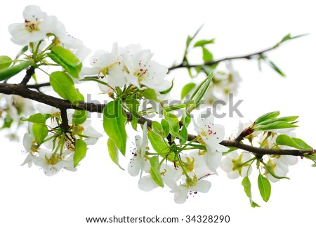 Isolated Apple Blossoms - stock photo