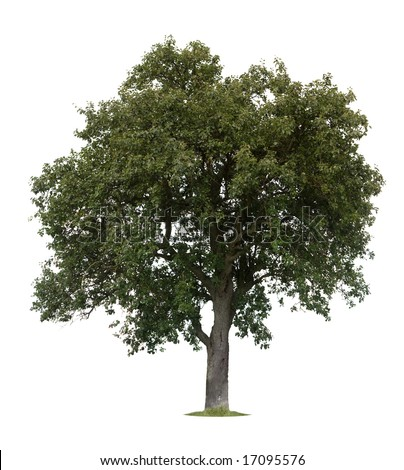Isolated apple tree against a white background - stock photo
