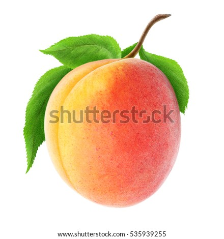 Isolated apricot. One fresh apricot fruit on a branch with leaves isolated on white background with clipping path