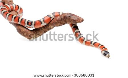 Isolated Arizona mountain king-snake on branch - stock photo