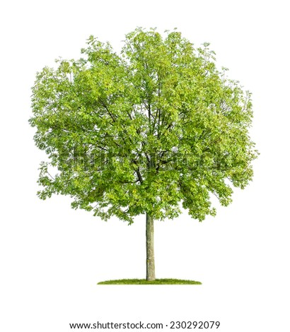 isolated ash tree on a white background - stock photo