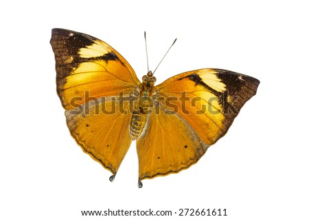 Isolated Autumn Leaf butterfly (Doleschallia bisaltide) with clipping path - stock photo