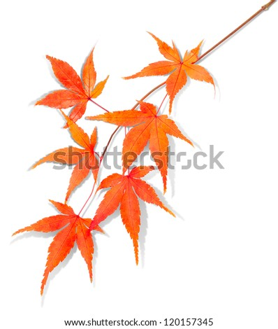 isolated autumn leaf with clipping path - stock photo