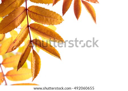 Isolated Autumn leaves on white background