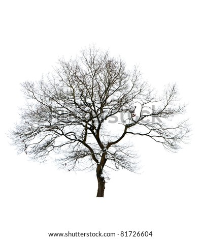 Isolated bare tree against white background - stock photo