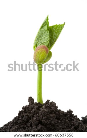 isolated bean seedling with soil on white background - stock photo