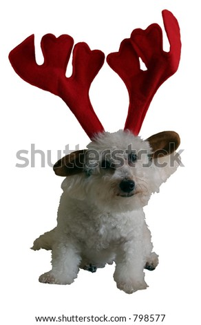 isolated Beau (a Bichon Frise) wears his X-Mas Antlers with pride!