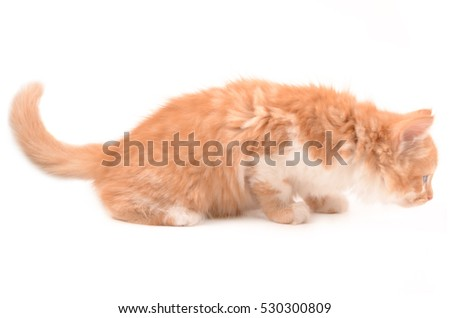 isolated beautiful red cat on a white background