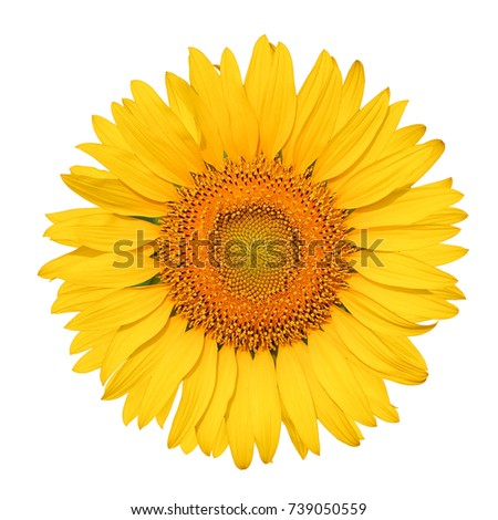 Isolated beautiful sunflower on white background with clipping path.
