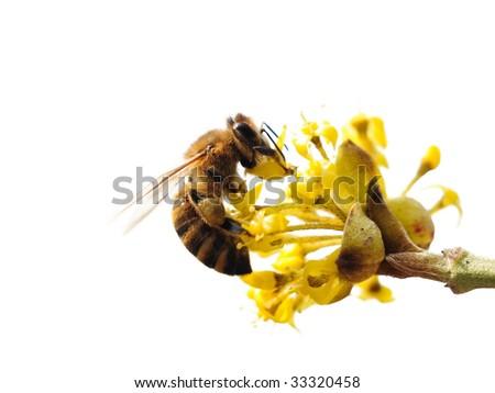 Isolated bee on a flower. Cornelia cherry. - stock photo
