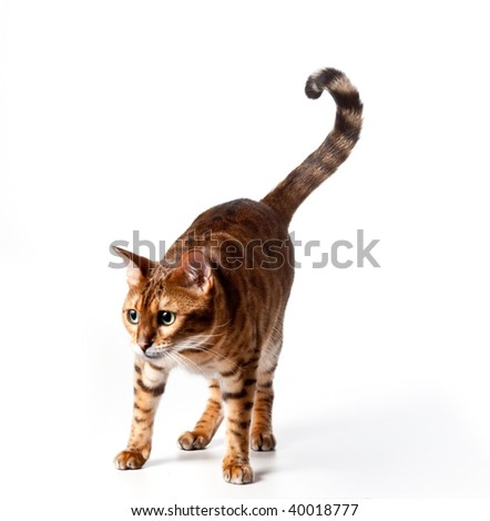Isolated Bengal Tiger Kitten staring - good for any food or pet product - stock photo