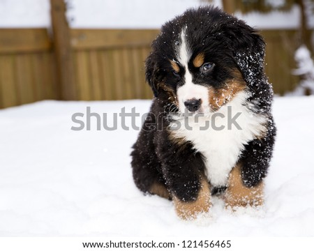 Isolated bernese mountain dog puppet is looking carefully - stock photo