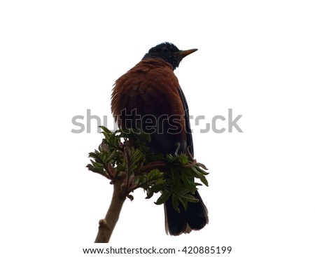 Isolated Bird American Robin Nature Background - Closeup American robin bird sitting on a tree branch and isolated on a white background. State bird of Connecticut, Michigan and Wisconsin. - stock photo