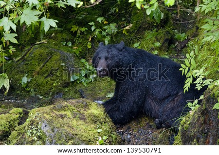 Isolated Black Bear while eating a salmon in Alaska