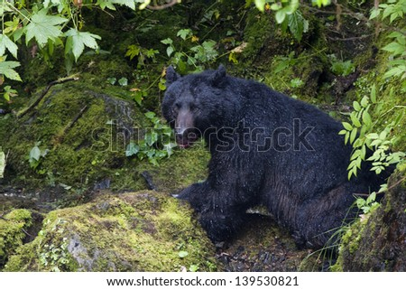 Isolated Black Bear while eating a salmon in Alaska - stock photo