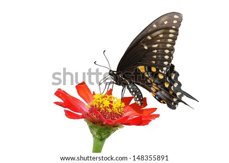 Isolated Black Swallowtail Butterfly on a red wildflower - stock photo