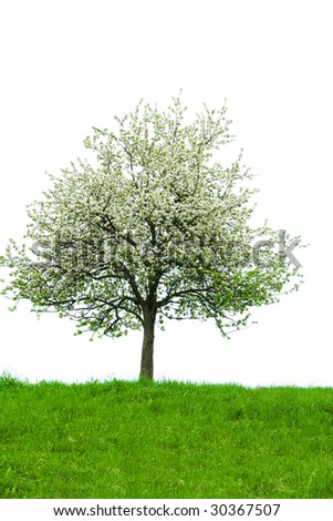 Isolated blooming tree with grass in front. - stock photo