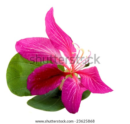 Isolated blossom and leaf of a Hong Kong Orchid tree - stock photo