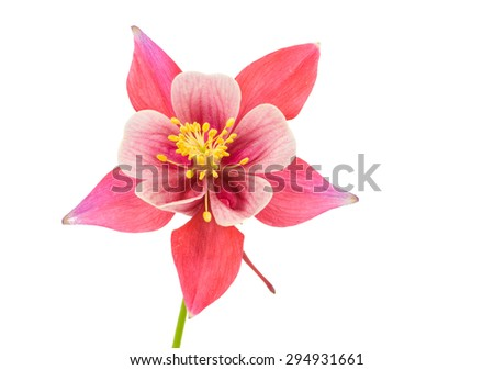Isolated blossom of Columbine (Aquilegia) flower - stock photo